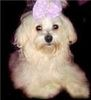 Toy Maltipoo Puppies For Sale In Nc