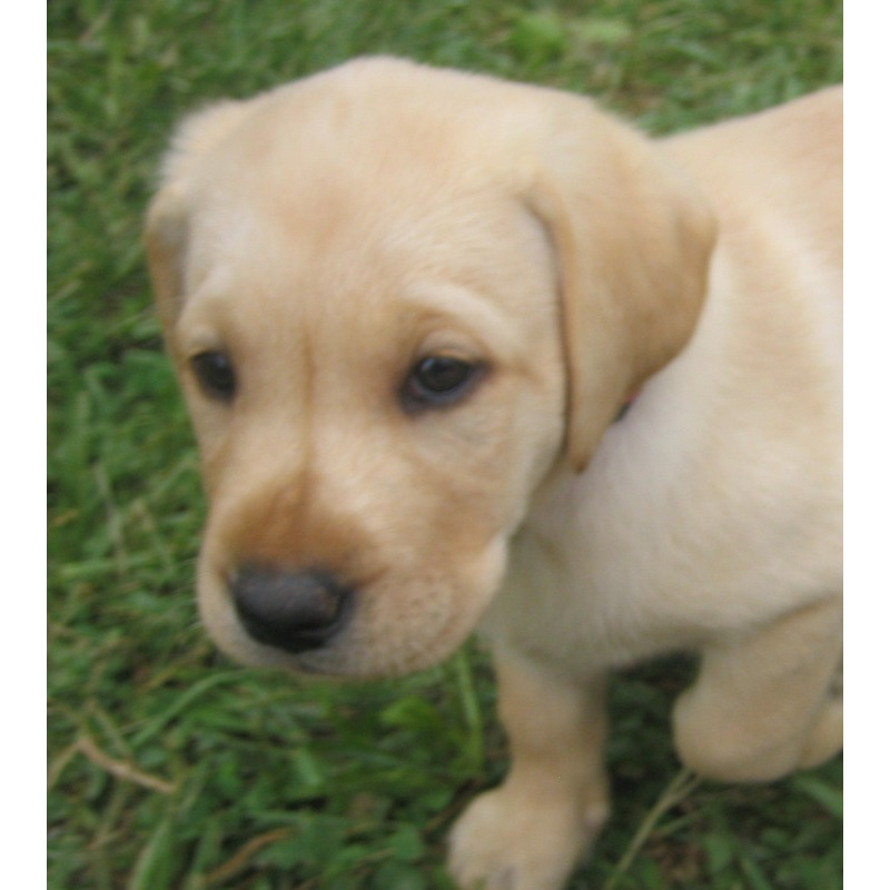 Labrador Retriever puppies for sale in Kentucky - AKC English type