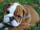 English Bulldog Puppies For Sale English Bulldog Breeders