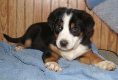 Greater Swiss Mountain Dog puppies for sale