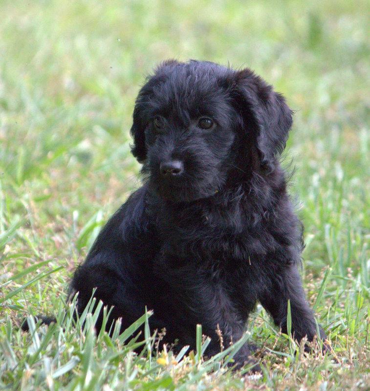 Puppies For Sale Goldendoodle Miniature Goldendoodles Minipetit