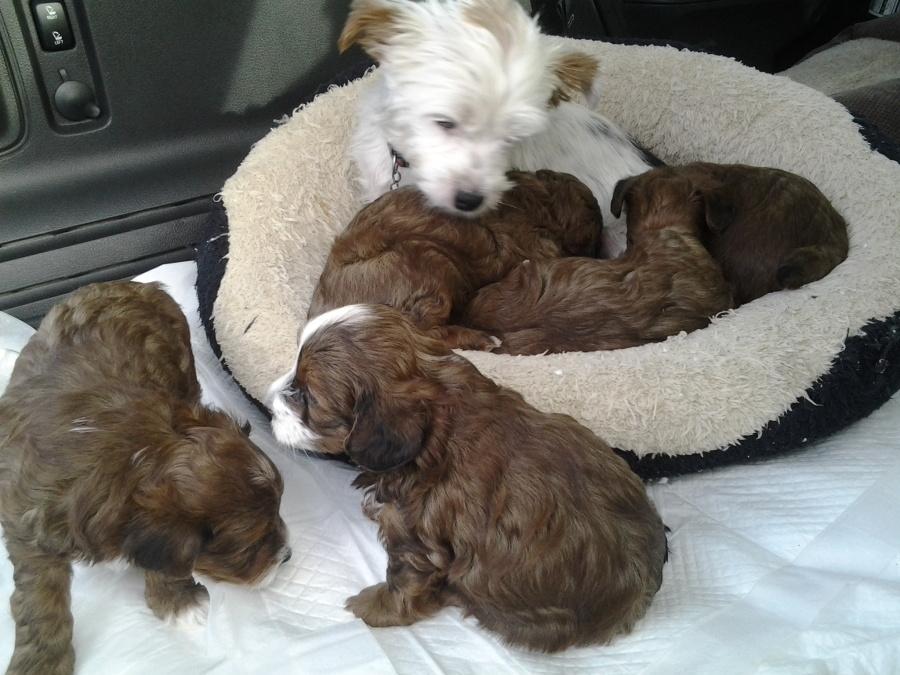 Puppies For Sale Yorkiepoo Yorkiepoos Yorkipoos F