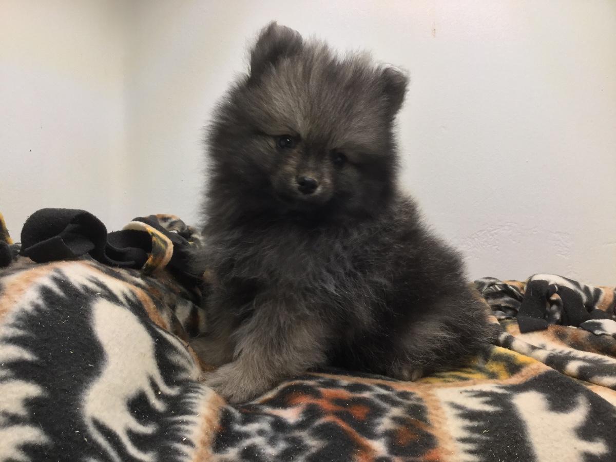 Puppies For Sale Pomeranian Pomeranians Poms F
