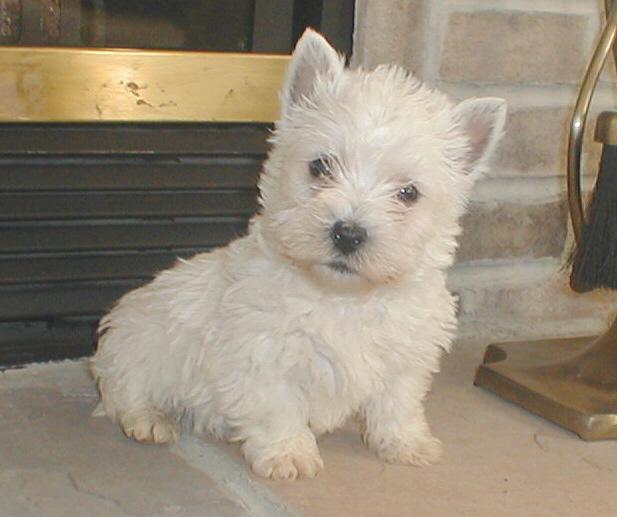 Puppies for sale - West Highland White Terrier (Westie), West