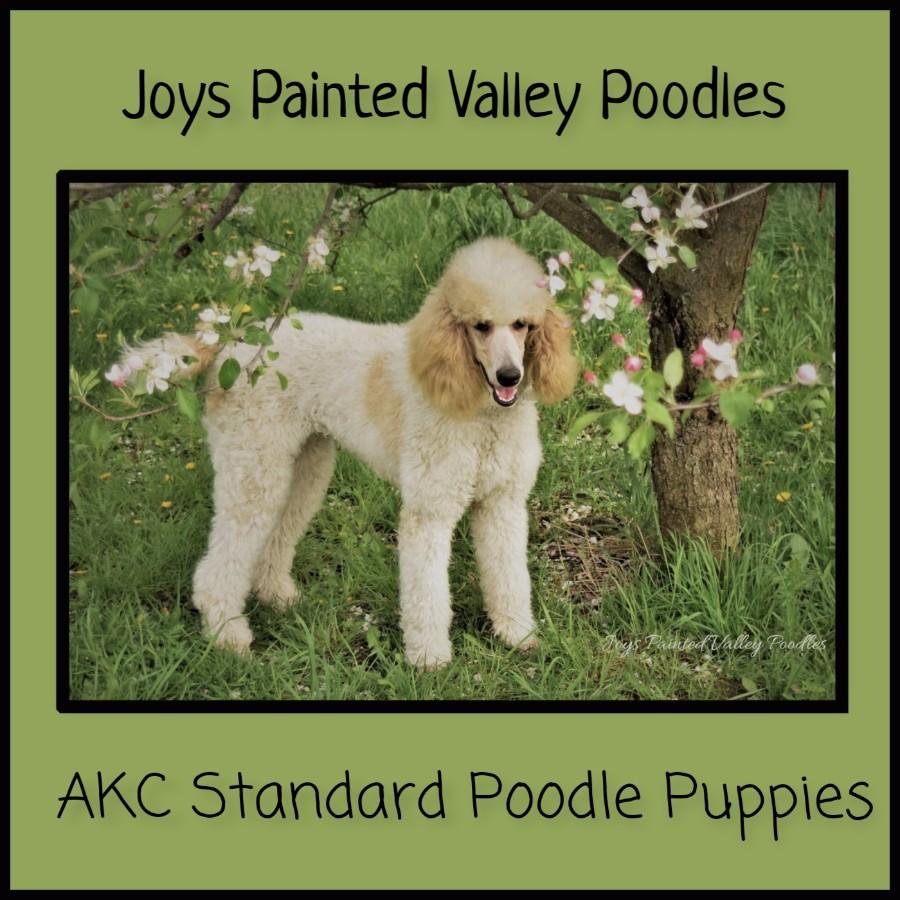 Puppies For Sale Poodle Standard Barbone Standard