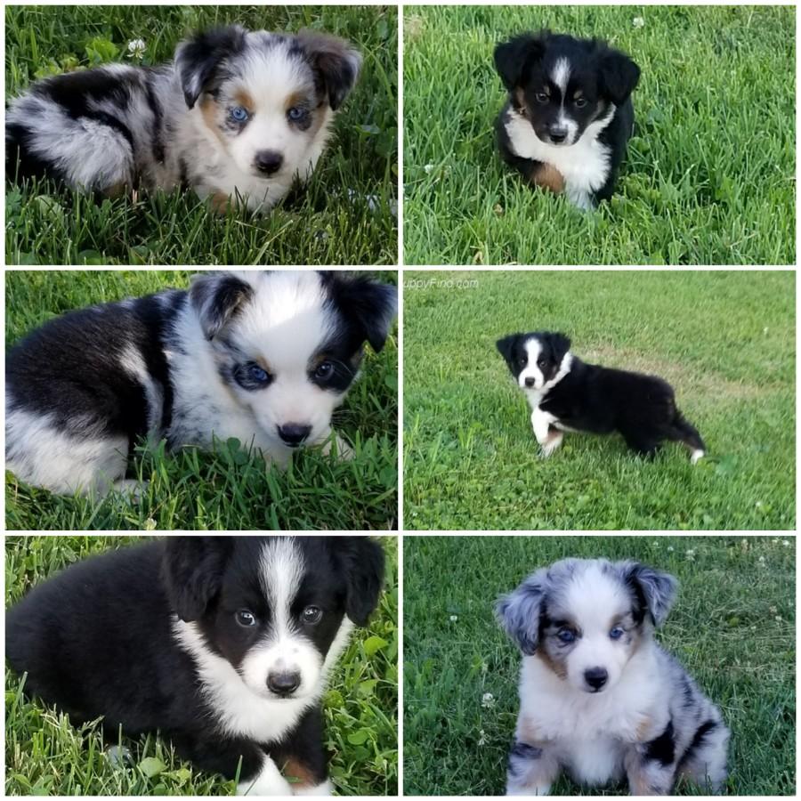 Black Tri Mini Australian Shepherd Male Puppy For Sale In ...